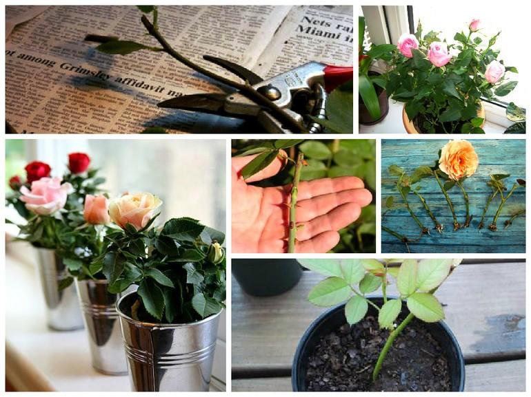 Проверенные способы укоренить розу