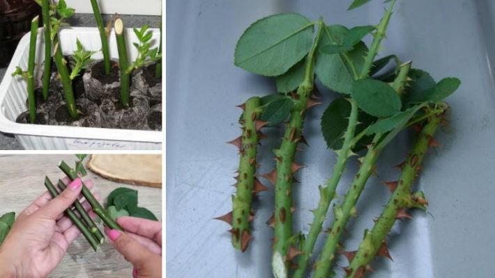Как сохранить черенки роз до весны осенью и зимой (обрезанные, укоренившиеся)
