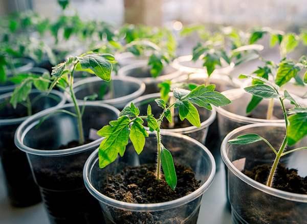 уход за рассадой томатов