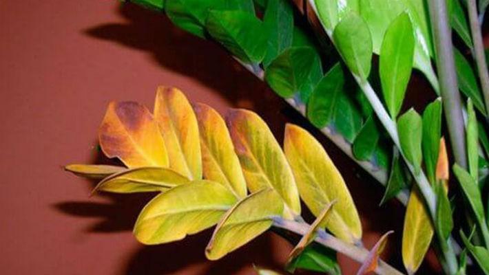 Желтеют листья у комнатных цветов причина
