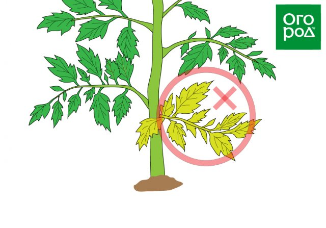 Удаление нижних листьев на томате