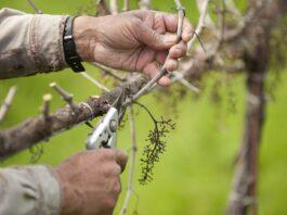 sekrety-pravilnoj-obrezki-vinograda