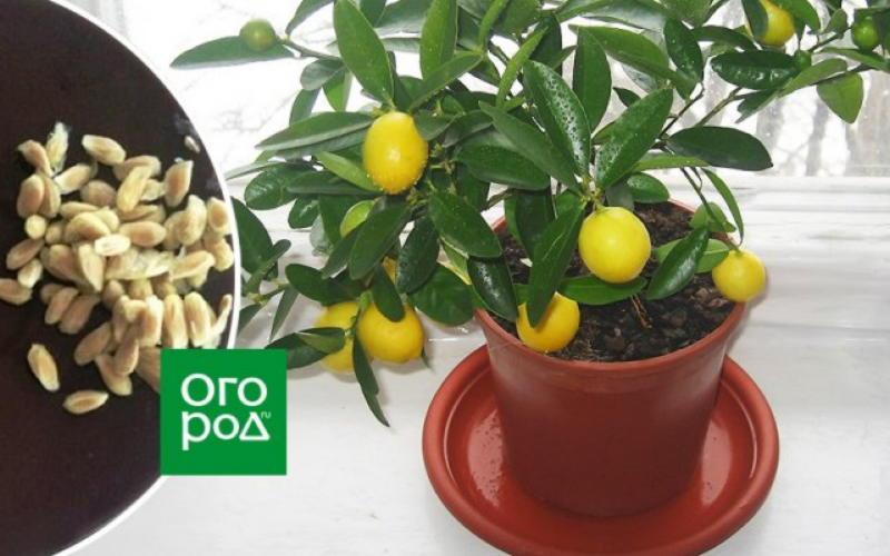 https://prolife.ru.com/wp-content/uploads/2019/12/kak-vyrastit-limon-iz-kostochki.jpeg