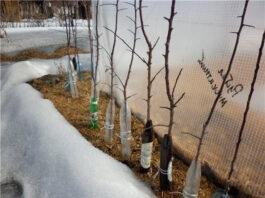 kak-ne-poteryat-molodye-sazhency-plodovyx-zimoj