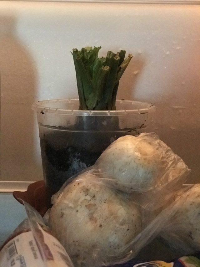 Сельдерей проходит период покоя в холодильнике перед выгонкой