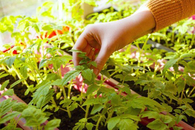 С высокорослых сортов томата «нащипывается» 3-4 пасынка, плюс укоренённая макушка и само маточное растение