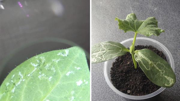 Слева: результат деятельности трипсов. Фото natalia1958. Справа: такой рисунок на листьях оставляет минирующая муха. Фото axa42169366