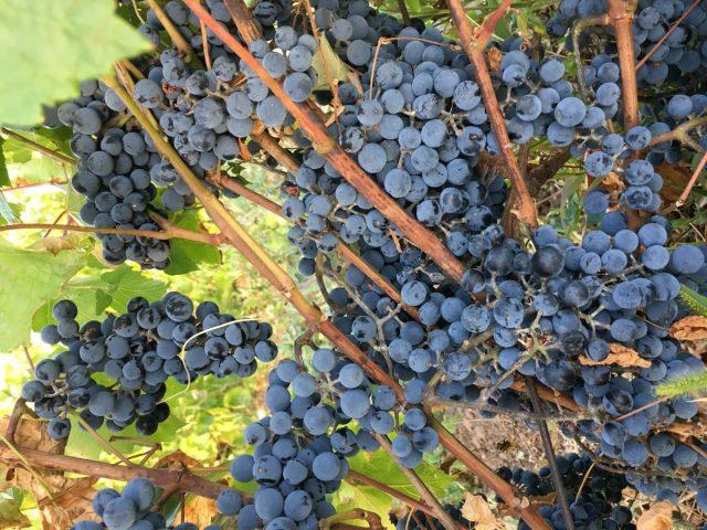Сорт винограда «Экспресс Ранний»