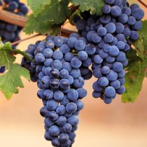 Сорт винограда «P33»